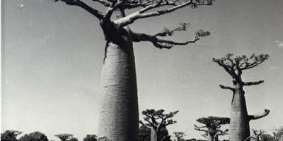 Allee des baobabs 1950