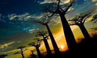 Allee des baobabs coucher de soleil 2