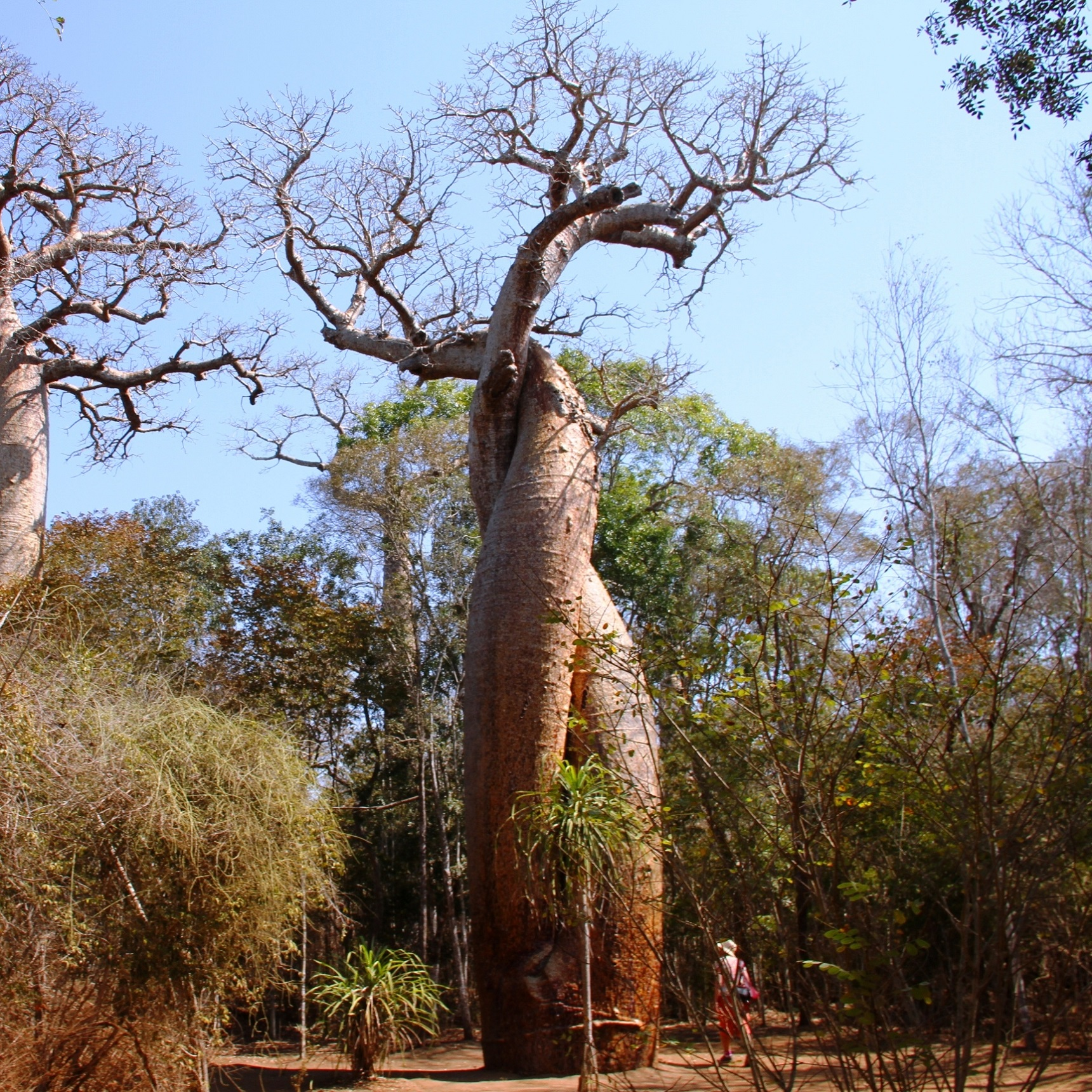 Baobab amoureux marofandilia