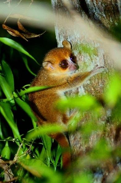 Kirindyforest berthae 590 392