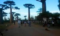 L allee des baobabs